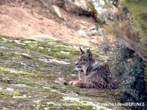 lince6