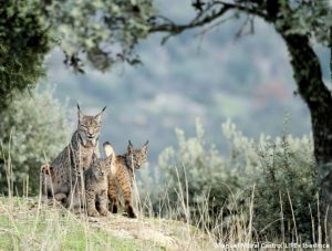 lince7